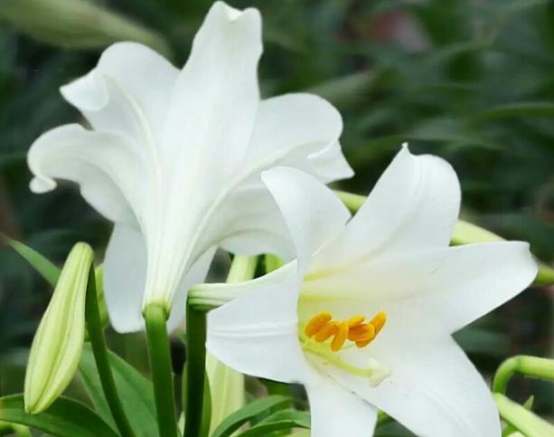 百合花的花语和寓意 百合花一般送几朵